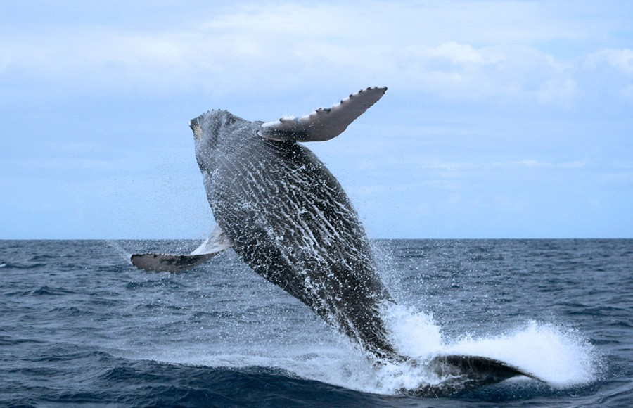 The majestics Humpback Whales in Samana Bay.