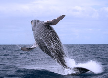 Whale Watching in Samana, Humpback Whale Watching Tour from Port and Town of Samana...